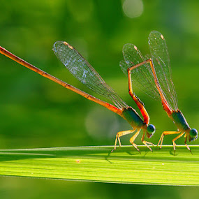 acrobat by Nordin Seruyan - Animals Insects & Spiders