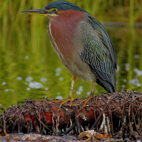 Green Heron on the pond by Robin Rawlings Wechsler - Animals Birds ( bird, nature, green heron, wildlife, heron )
