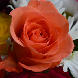Peach rose  by Mike Owen - Novices Only Flowers & Plants ( beautiful flower, anniversary, petals, roses, flowers,  )