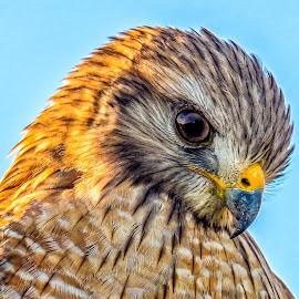 The Sentinel  by Joan Sharp - Animals Birds ( blue sky, head, birds, shoulders, hawk,  )