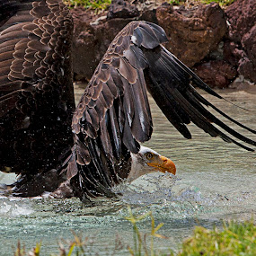 Bald eagle by Sigitas Baltramaitis - Animals Birds