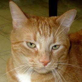 Garfield by Linda Doerr - Animals - Cats Portraits ( cat, tom cat, tabby, ginger cat, portrait )
