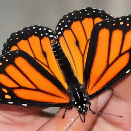 Monarch by Lori Gauthier - Animals Insects & Spiders