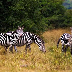 Lake Mburo Zebras... by Jamie Link - Animals Horses ( uganda africa, uganda wildlife authority, jamie link photography, african wildlfe, african safari animals, striped animals, tanzania zebras, african equids, lake mburo zebras, zebra, east african wildlife )