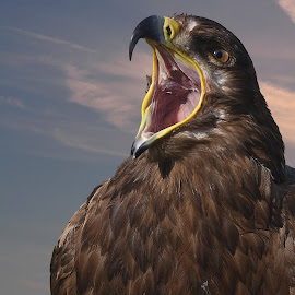 Screaming Eagle by Franco Salis - Animals Birds