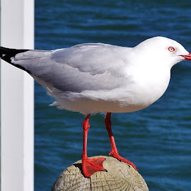 Seagull by Sarah Harding - Novices Only Wildlife ( bird, nature, novices only, wildlife, animal )