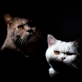 by Roberto Di Patrizi - Novices Only Pets ( cats, britishshorthair, shadow,  )