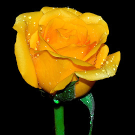 yellow rose by Hafiz Ursa - Nature Up Close Gardens & Produce ( 50.0mm, rose, yellow rose, nikon d3100, beautiful wedding flower, fresh yellow rose, fresh flower, yellow rose with black background, flower )