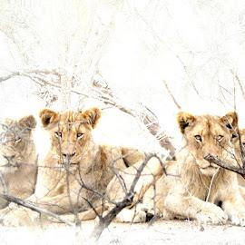 The Boyz by Bjørn Borge-Lunde - Digital Art Animals ( wild animal, big cat, lion, animals, wilderness, big cats, nature, wild animals, wildlife, lions, africa, male lion )