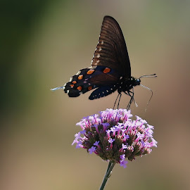 Pipevine Swallowtail  by Robin Rawlings Wechsler - Animals Insects & Spiders