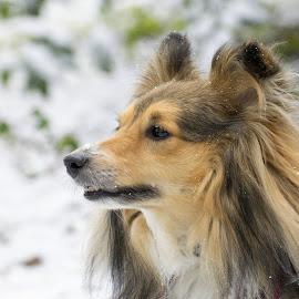 Snowy sheltie nose! by Fiona Etkin - Animals - Dogs Portraits ( canine, companion, pet, snow, shetland sheepdog, sheltie, animal )