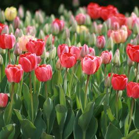 by Nancy Tonkin - Flowers Flower Gardens (  )