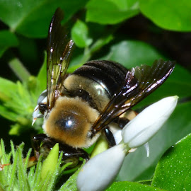 A bumblebee by Denton Thaves - Animals Insects & Spiders ( bumble bee )