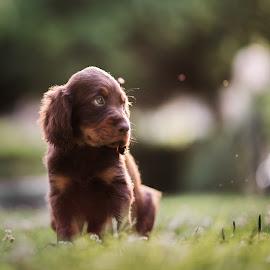 Little beauty by Luca Foscili - Animals - Dogs Puppies ( face, mane, furry, beautiful, beauty, bokeh, portrait, eyes, nature, pet, pets, outdoors, dog, animal )
