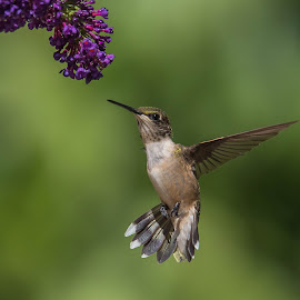 Maybe by Roy Walter - Animals Birds ( bird, wildlife, garden, hummingbirds, animal )