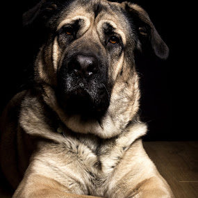 cute dog by Paul Phull - Animals - Dogs Portraits ( pet, paws, dog, bullmastiff cross, eyes )