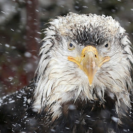 Rootok the wise by Jack Molan - Animals Birds ( eagle clan, eagle, mystery, nature, snow, alaska, wonder, bald eagle )