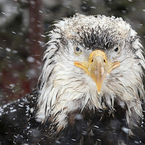 Rootok the wise by Capt Jack - Animals Birds ( eagle clan, eagle, mystery, nature, snow, alaska, wonder, bald eagle )