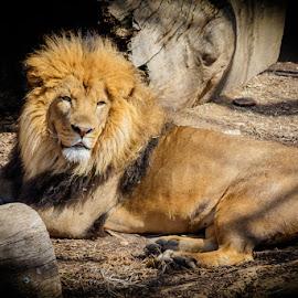 Lion by Buddy Woods - Animals Lions, Tigers & Big Cats ( big cat, lion, cat, lions, male lion )