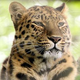 Leopard by Ralph Harvey - Animals Lions, Tigers & Big Cats ( wilsdlife, ralph harvey, marwell zoo, leopard, animal )