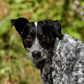 Dingo by Raphael RaCcoon - Animals - Dogs Portraits ( doggie, doggy, handsome, dog, portrait )