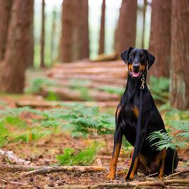Doberman by Jenny Trigg - Animals - Dogs Portraits ( dogs, woodland, dog, doberman, portrait )