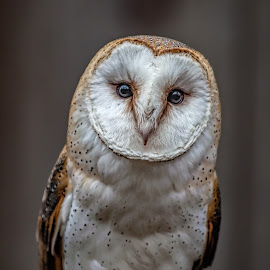 Marble Eyes  by Roy Walter - Animals Birds ( bird, captivty, barn owl, rescue, feathers )