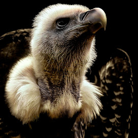 Royal by Pat Hartley - Animals Birds ( vulture, bird of prey, wings, beak, raptor, feathers, eye )