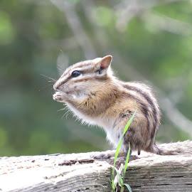 Chipmunk by Rose McAllister - Animals Other ( critter, nature, chipmunk, brown, landscape )