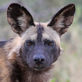 Painted Dog! by Anthony Goldman - Animals Other Mammals ( africa, mammal, portrait, wild, dog, wildlife,  )