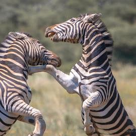 ZEBRA STALLIONS by Dave  Moffatt - Animals Other Mammals