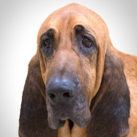 Beauregard by Ginger Wlasuk - Animals - Dogs Portraits ( old, shelter, shelter dog, hound, bloodhound, dog )