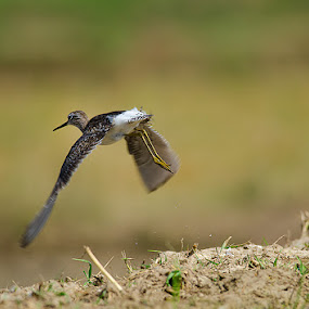 Sandy..! by Srikanth Iyengar - Animals Birds ( bangalore, flight, srikanth, iyengar, birds )