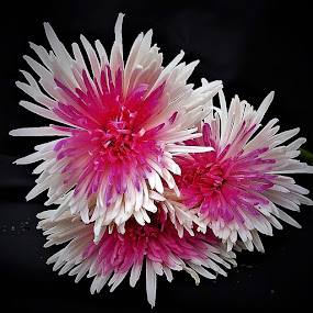 pink and white by Mary Gallo - Flowers Flower Arangements ( flowers, pink and white flowers, nature,  )