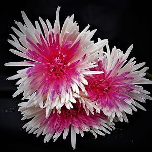 backyard flower (4).JPG