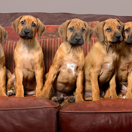 Rhodesian Ridgeback Puppies by Linda Johnstone - Animals - Dogs Puppies ( ridgeback, puppies on sofa, rhodesian ridgeback, puppies, cute puppy, dogs, cute, puppy portrait, puppy line-up )