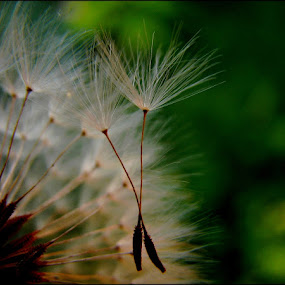 last dance by Adriana Petcu - Abstract Macro ( macro, dandelion, nature, green, dance )