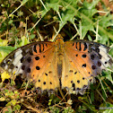 Chinese Tropical Fritillary