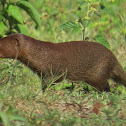 Java mongoose