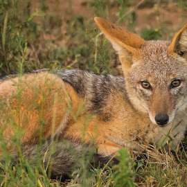 Black Backed Jackal by Warren Hanna - Animals Other Mammals ( south africa, dinokeng nature reserve, black backed jackal, wildlife, jackal )