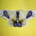Drepanid Moth