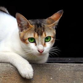 Cat  by Asif Bora - Animals - Cats Portraits