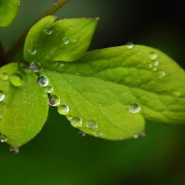 by Dipali S - Nature Up Close Leaves & Grasses ( lamprocapnos spectabilis, compound leaves, nature, fresh, foliage, green, papaveraceae, drops, spring, rain, flower )