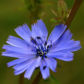 Chicory and Bud by Chrissie Barrow - Flowers Flowers in the Wild ( stigma, wild, single, stamens, blue, petals, green, chicory, insects, bud, bokeh, black, beetles, flower,  )