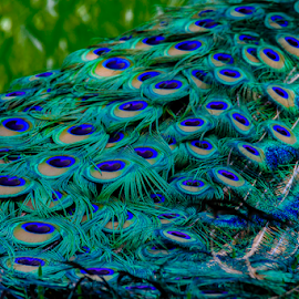 Peacock by Robert Strickland - Artistic Objects Other Objects (  )