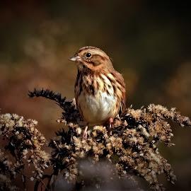 Brown Sparrow by Sue Delia - Animals Birds ( fall, bird, earth, sparrow, wild,  )