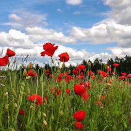 Red field by Irena Gedgaudiene - Landscapes Prairies, Meadows & Fields ( clouds, meadow, poppies )