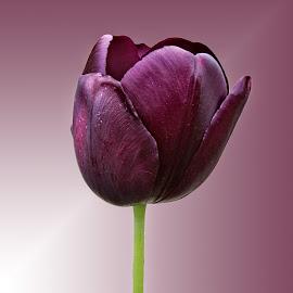 HKMH tulip 03 by Michael Moore - Flowers Single Flower