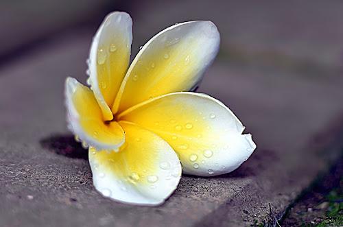by Koento Birowo - Nature Up Close Flowers - 2011-2013 ( bunga, nature, indonesia, kamboja, flower,  )