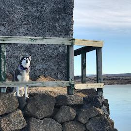 By the lake by Bjarklind Þór - Animals - Dogs Portraits